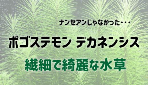 ポゴステモン デカネンシスの育て方|繊細な葉