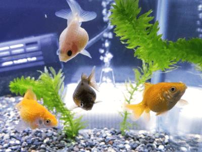 金魚水槽の大磯砂利