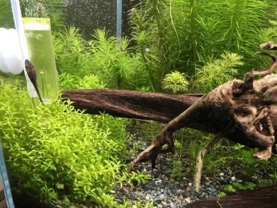 60cm水槽(2019年1月)パールグラス