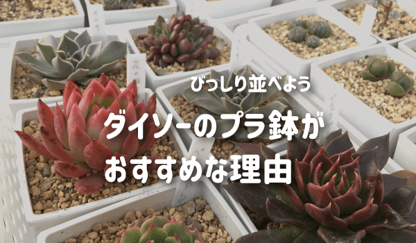 多肉植物にダイソーのプラ鉢がおすすめな理由