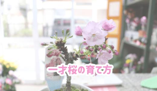 一才桜の育て方|家で育てられる桜