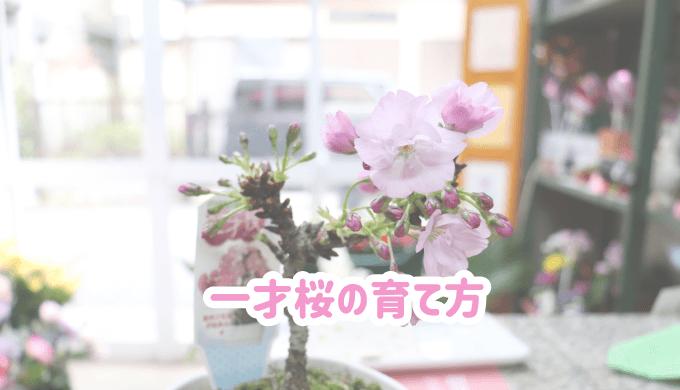 一才桜の育て方