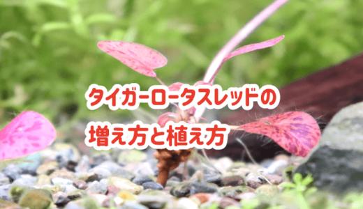 タイガーロータスレッドの増え方と植え方