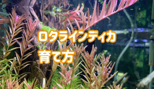 ロタラインディカが枯れる?育てやすい赤系水草