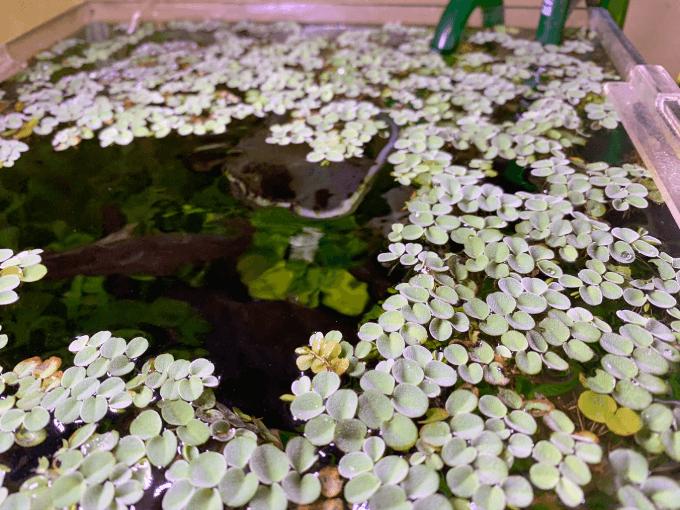 サルビニア・ククラータでいっぱいの水槽