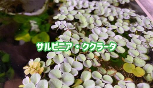 【浮草】サルビニア・ククラータの特徴|コケ対策におすすめ